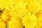 Dandelion flowers close-up — Stock Photo