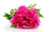 Beautiful pink peony isolated on white — Stock Photo