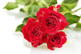 Beautiful vinous roses on white background close-up — Stock Photo