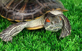 Red ear turtle on grass — Stock Photo