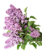 Beautiful lilac flowers isolated on white — Stock Photo
