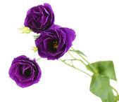 Purple eustoma on white background — Stock Photo