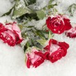 Постер, плакат: Beautiful vinous roses in the snow close up