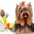 Beautiful yorkshire terrier with grooming items isolated on white - Photo