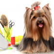 Beautiful yorkshire terrier with grooming items isolated on white - Stockfoto