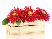 Beautiful red dahlias in wooden box isolated on white — Stock Photo