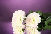 Beautiful white dahlias on purple background close-up — Stock Photo