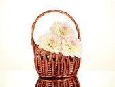 Beautiful white dahlias in basket isolated on white — Stock Photo