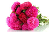 Pink aster flowers, isolated on white — Stock Photo