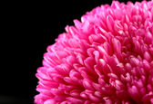 Beautiful aster flower, on black background — Stock Photo