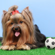 Stock Photo: Beautiful yorkshire terrier with football on grass on colorful background
