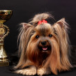 Beautiful yorkshire terrier surrounded by antiques on black background — Stock Photo #13508612