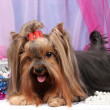 Beautiful yorkshire terrier on background fabric — Стоковая фотография