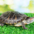 Stock Photo: Red ear turtle on grass on bright background