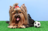 Beautiful yorkshire terrier with football on grass on colorful background — Stock Photo