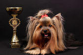 Beautiful yorkshire terrier surrounded by antiques on black background — Stockfoto