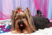 Bellissimo yorkshire terrier su tessuto di fondo — Foto Stock