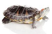 Tartaruga orecchie rosse isolate su bianco — Foto Stock
