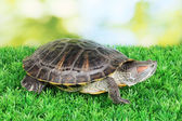 Red ear turtle on grass on bright background — Stock Photo