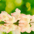 Branch of pale pink gladiolus on green background close-up — Stock Photo