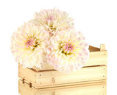 Beautiful white dahlias in wooden box isolated on white — Stock Photo
