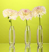 Beautiful white dahlias in glass vases on green background close-up — Stock Photo