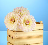 Beautiful white dahlias in wooden box on blue background close-up — Stock Photo