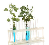 Test-tubes with a blue solution and the plant isolated on white background — Stock Photo