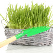 Green grass in basket isolated on white - Stok fotoğraf
