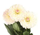 Beautiful white dahlias on white background close-up — Stock Photo