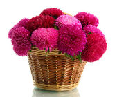 Pink aster flowers in basket, isolated on white — Stock Photo
