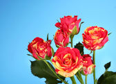 Vackra röd-gula rosor på blå bakgrund närbild — Stockfoto