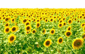 Slunečnicová pole — Stock fotografie