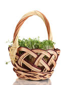 Fresh garden cress on basket isolated on white — Stock Photo
