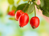 Ripe hip roses on branch with leaves, on green background — Stock Photo