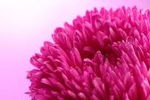 Fiore bella aster, su sfondo rosa — Foto Stock