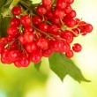 Branch of ripe viburnum on bright green background close-up — Stock Photo #13664811
