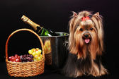 Beautiful yorkshire terrier on colorful background — Stock Photo