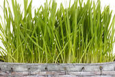 Green grass in basket close-up — Stock Photo
