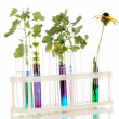 Test-tubes with a colorful solution and the plant isolated on white backgro - Stock Photo