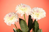 Beautiful white dahlias on red background close-up — Stock Photo