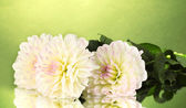 Beautiful white dahlias on green background close-up — Stock Photo