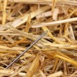Stock Photo: Needle in haystack close-up