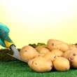 Ripe potatoes on grass on green background close-up - Stock Photo