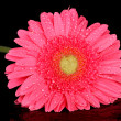 Royalty-Free Stock Photo: Pink gerbera with drops isolated on black