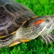 Stock Photo: Red ear turtle on grass