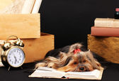 Beautiful yorkshire terrier surrounded by antiques on black background — Stock Photo