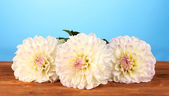 Beautiful white dahlias on blue background close-up — Stock Photo