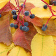Bright autumn leaves with wild grapes, close up — Stock Photo