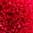 Pink aster flower, close up - Stock Photo